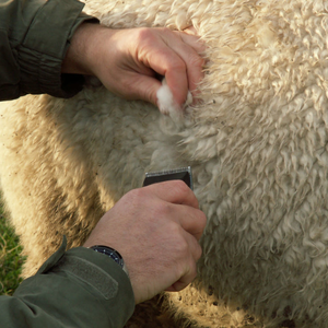 Taking a fleece sample for analysis