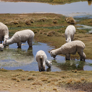 Alpacas drinking and wading in the marshy bofedales that dot the area around the Altiplano