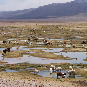 There are nearly 200 alpacas in this photo, all doing what comes naturally, paddling.